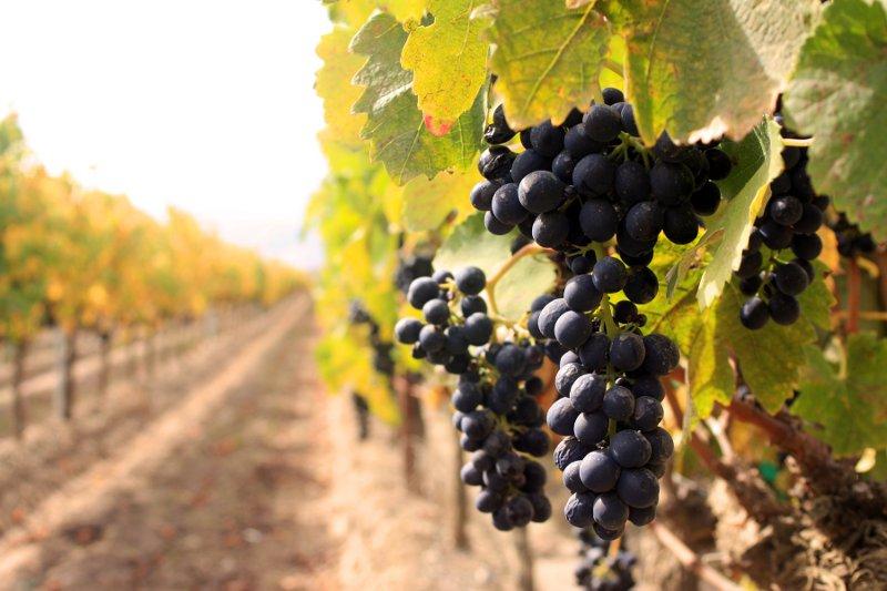 Vinagre de Jerez - Viñedo